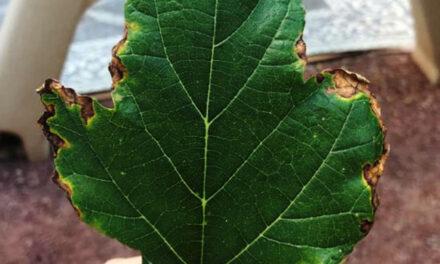 Salt burn on leaf edges: Causes and solutions