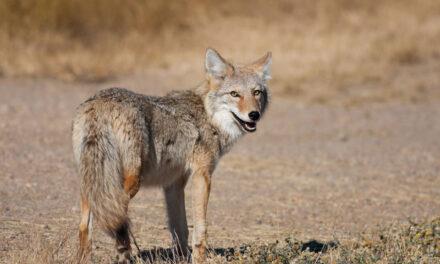 Dozens of coyote carcasses dumped