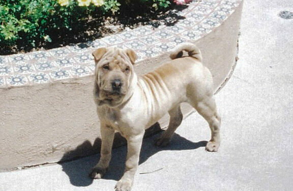 Pet Shar-Pei dies after pit bull attack